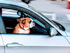 Unbuckling Your Pet When Driving Jeopardises Many Lives