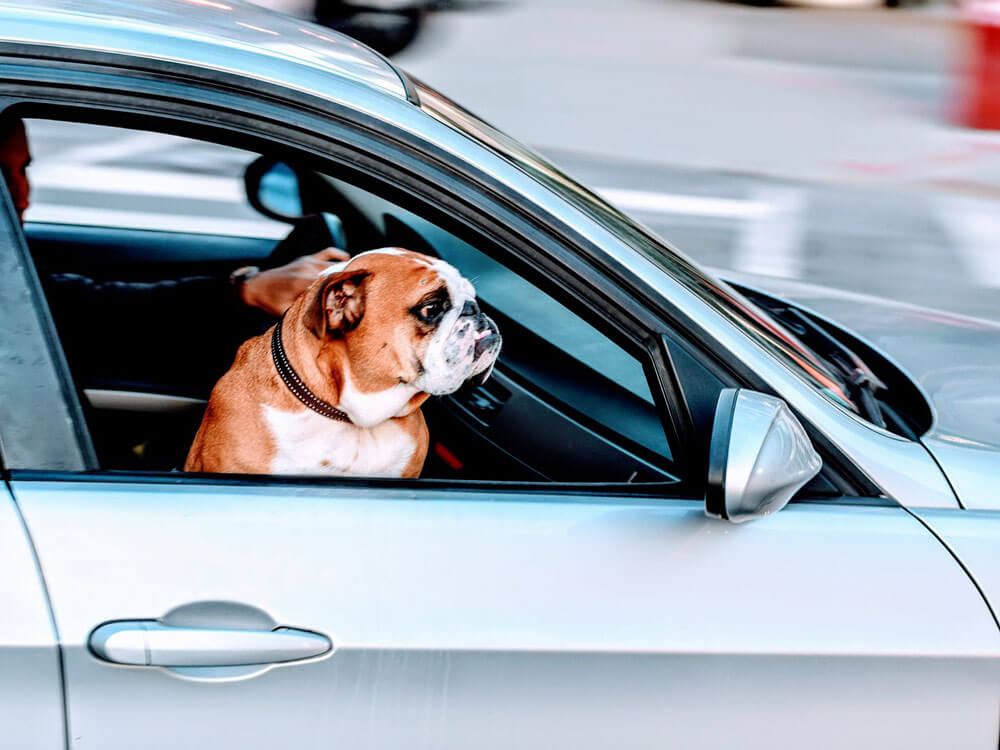 45% Dog Owners Jeopardizing Lives Due to Unrestrained Pets in Cars Blue