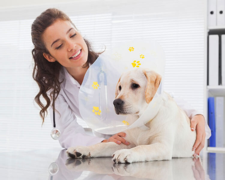 dog spay recovery