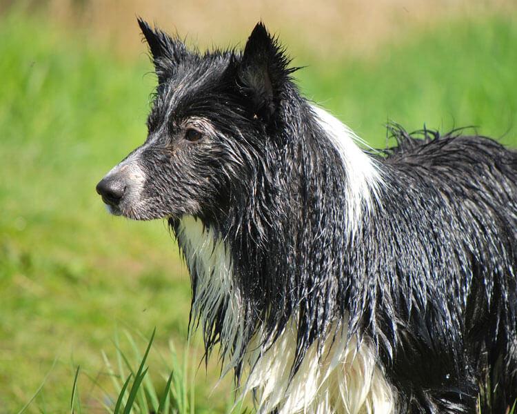 wet border collie
