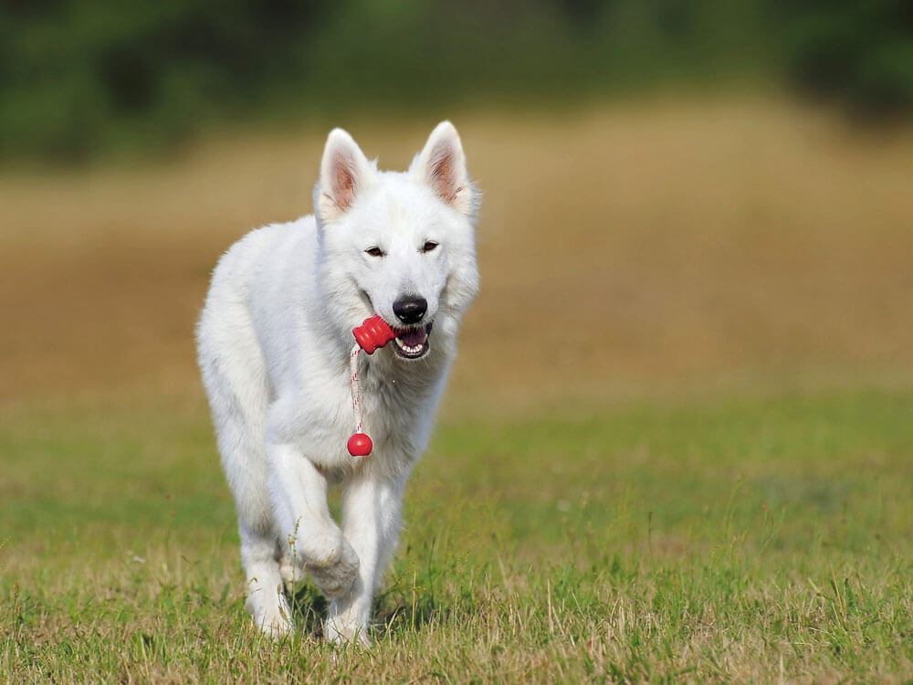 a white swiss shepherd walking on the grass while biting its toy
