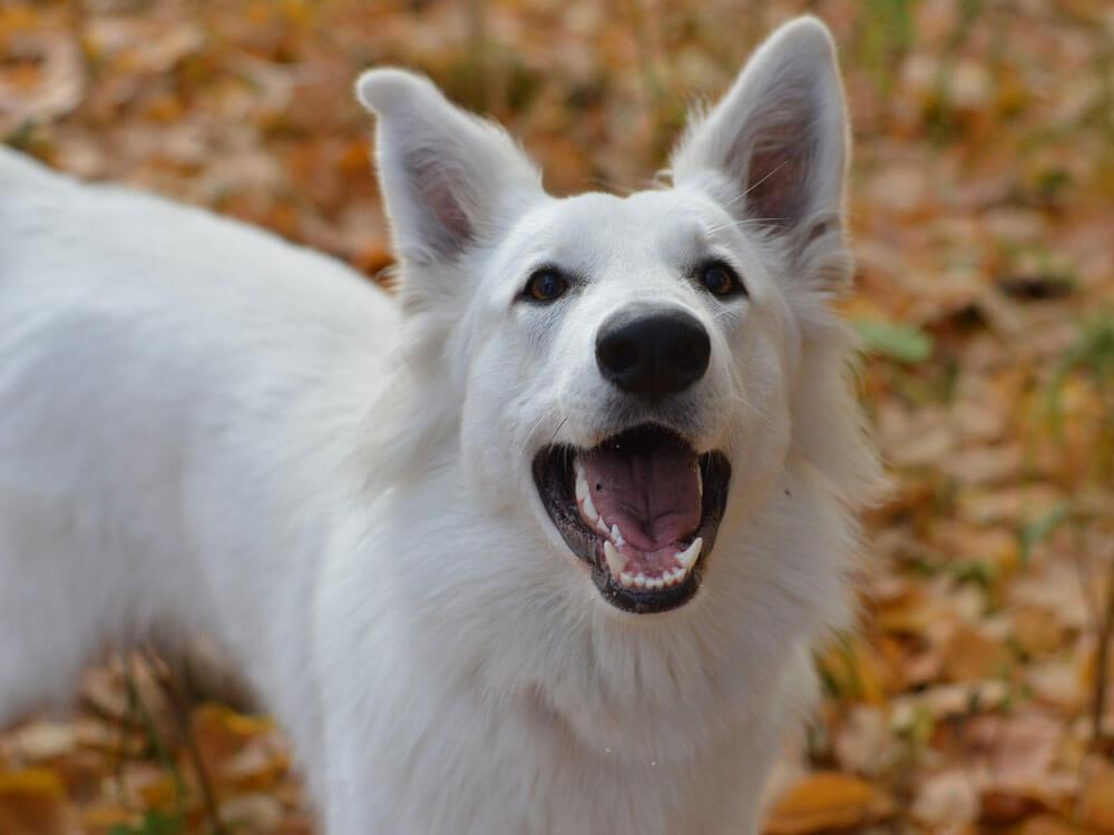 Kennel Club Warns on German Shepherds Being Sold as White Swiss Shepherd