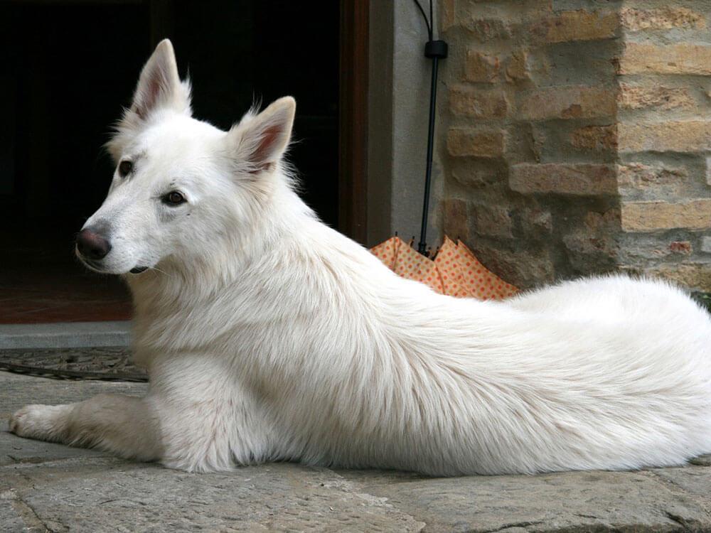 a white swiss shepherd lying on the floor