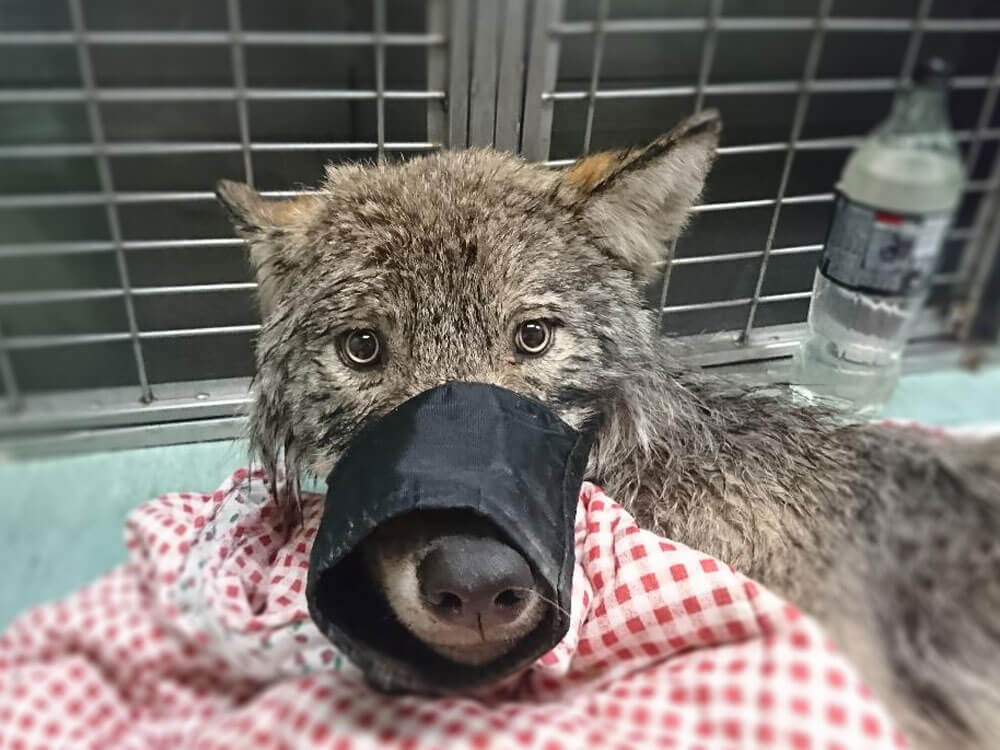 A mouth's wolf wrapped in a cloth after being rescued