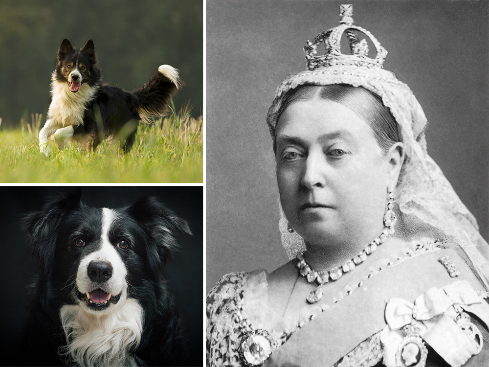Queen-Victoria-and-border-collies