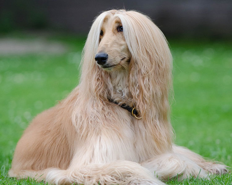 afghan hound, one of the fastest dog breed