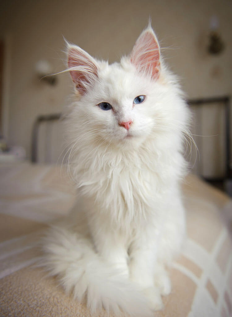 an albino cat sitting in bed