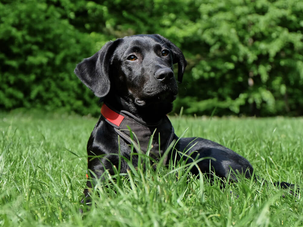 Missing Black Lab Returns to His Owner with Friends in Tow