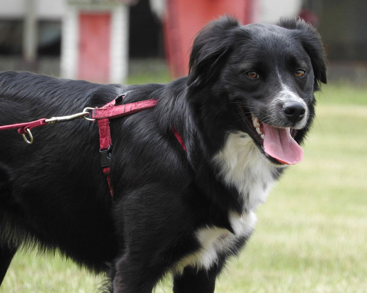 border collie, one of the fastest dog breed