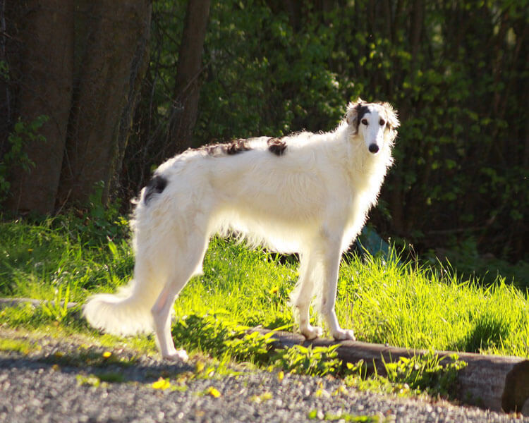 borzoi, one of the fastest dog breed