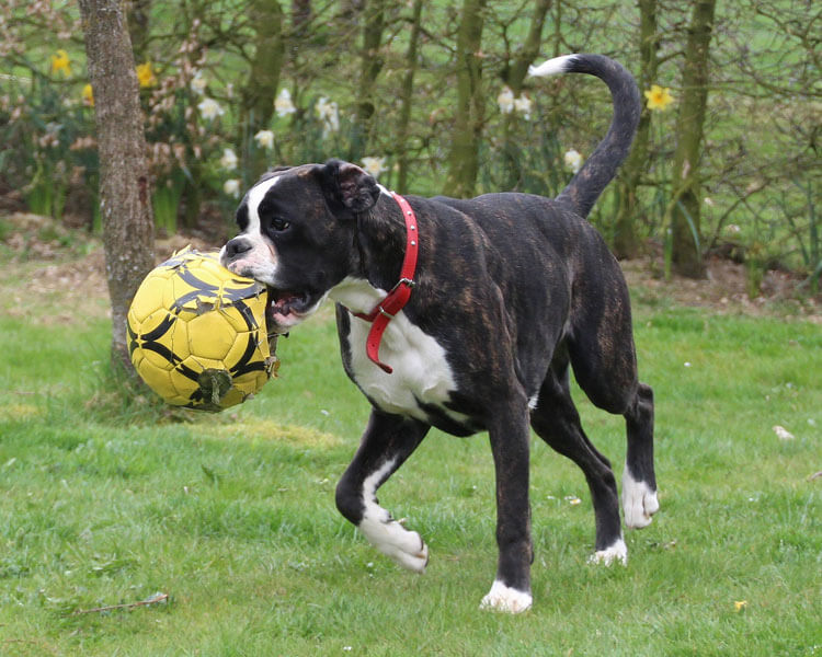 boxer, one of the most loyal dog breed