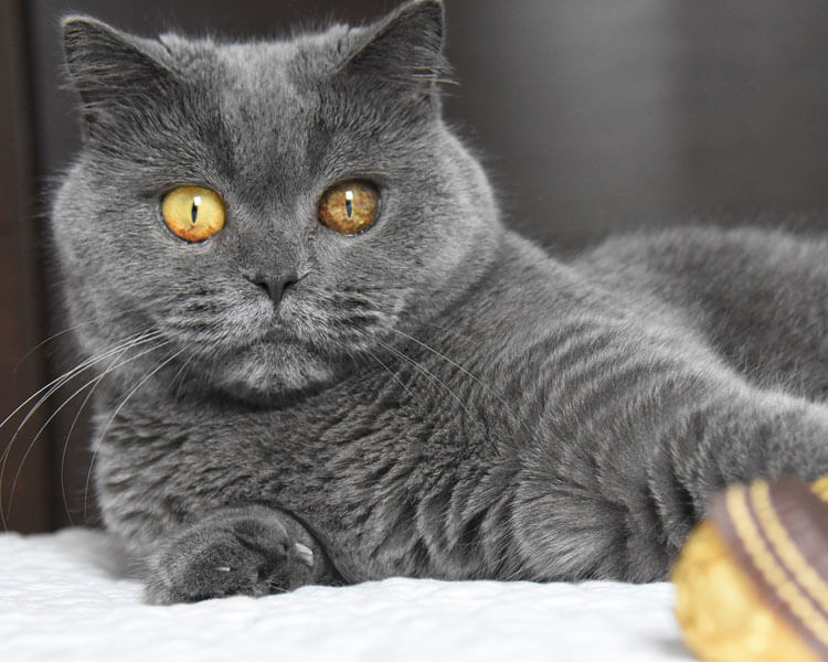 british shorthair, one of the best indoor cat breed