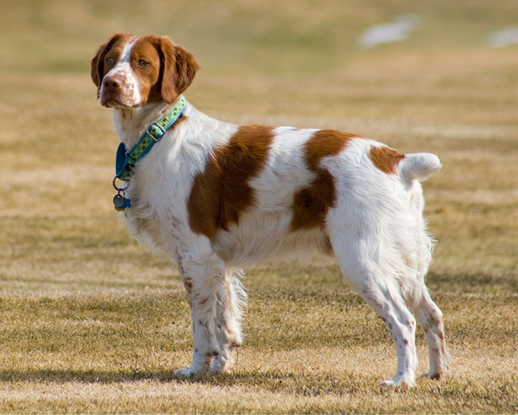 brittany spaniel, one of the most loyal dog breed
