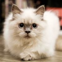 Do You Know Your Cat's Blood Type?