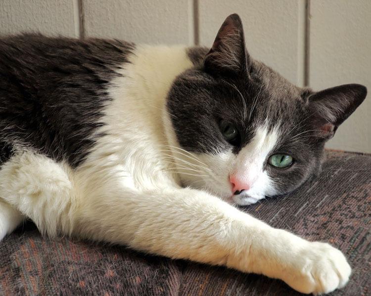 cat lying on the sofa