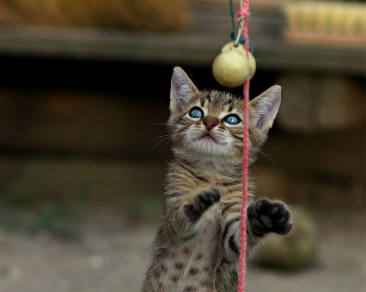 a kitten playing its toy