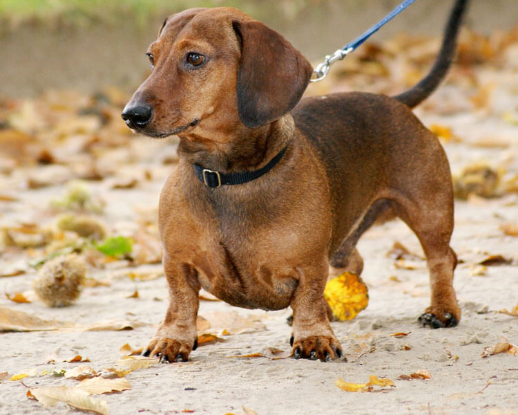 dachshund, one of the 10 longest living dog breed