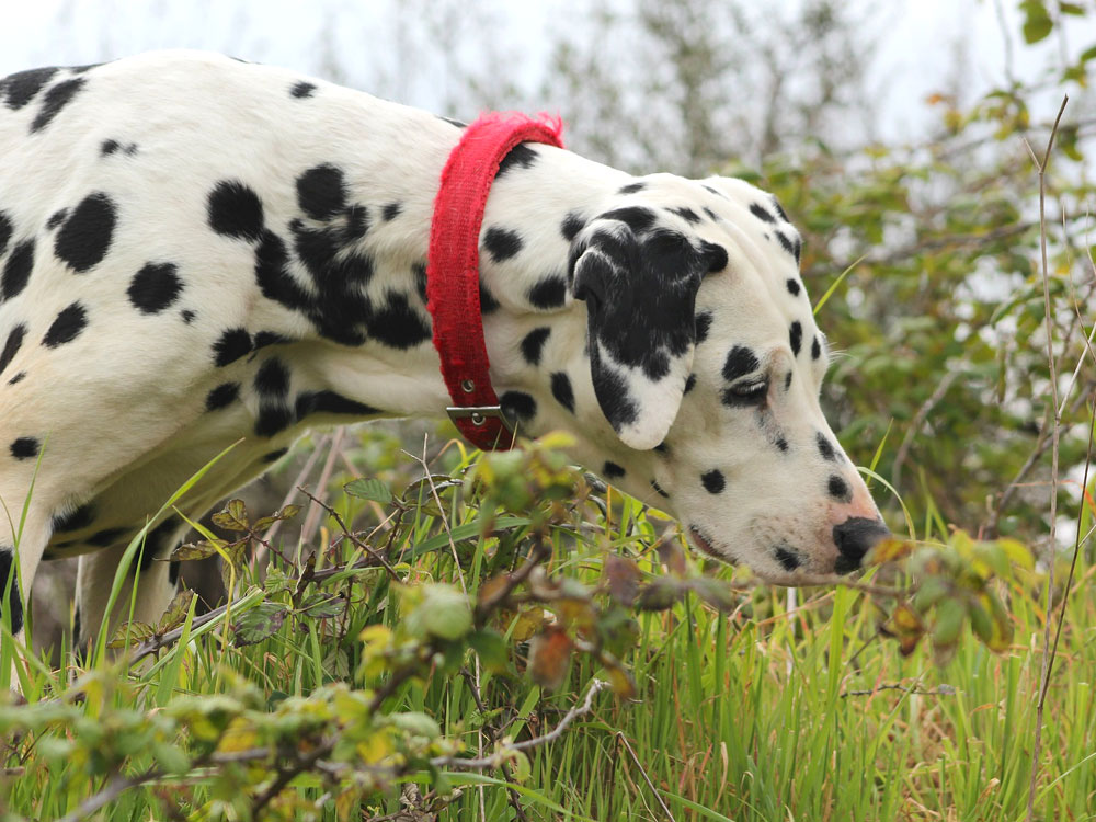 A Dalmatian is sniffing something in the grass field