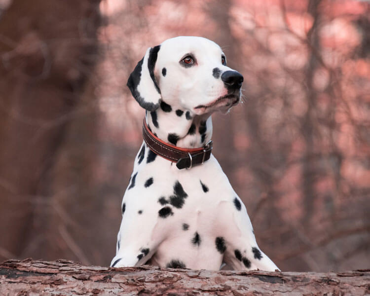 dalmatian, one of the fastest dog breed