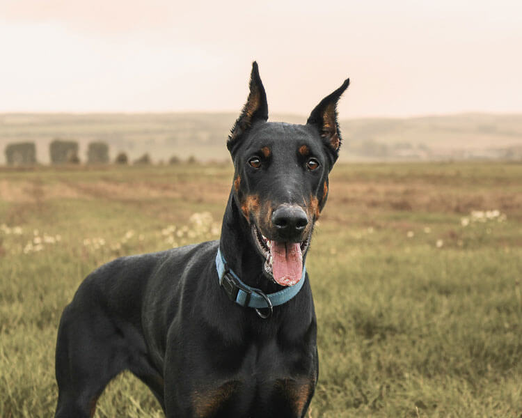 doberman pinscher, one of the fastest dog breed