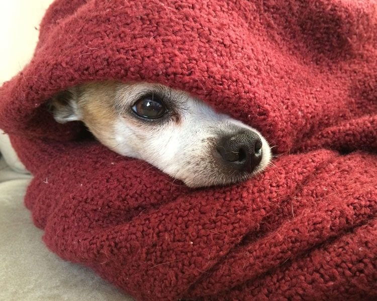 a dog covered by a red blanket