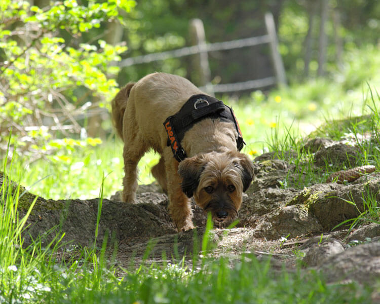 dog sniffing and digging something on its owners backyard