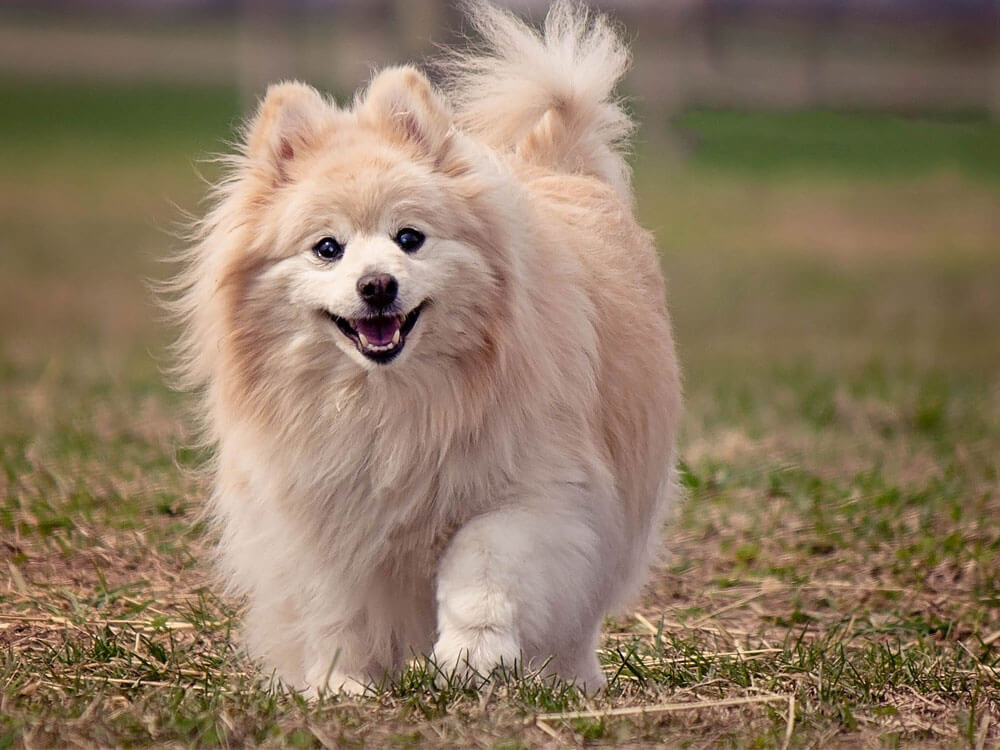 a fluffy dog running on the grass