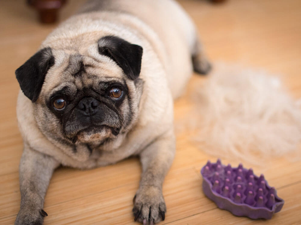 Managing Dog Shedding Hair in Winter