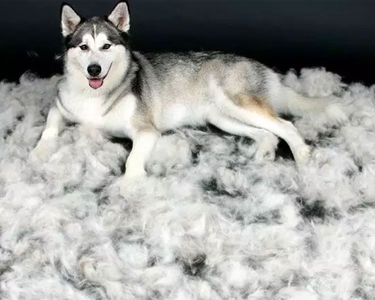 a husky sitting near its shed fur