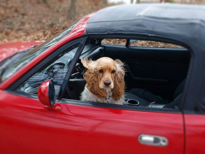 What is Dog Travel Sickness and How Do You Desensitise It?
