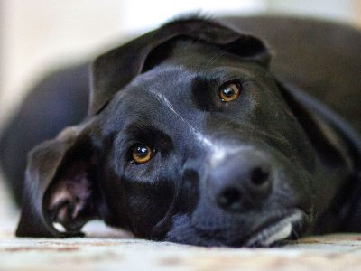 Can Dogs Experience Trauma: PTSD in Dogs