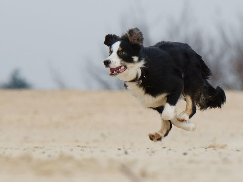 10 Fastest Dog Breeds and How They Are as Family Pets