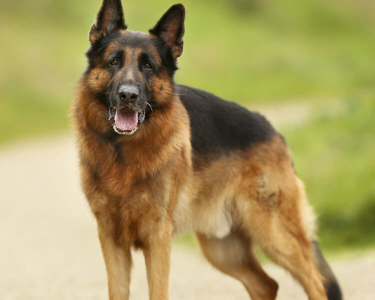 german shepherd, one of the most loyal dog breed