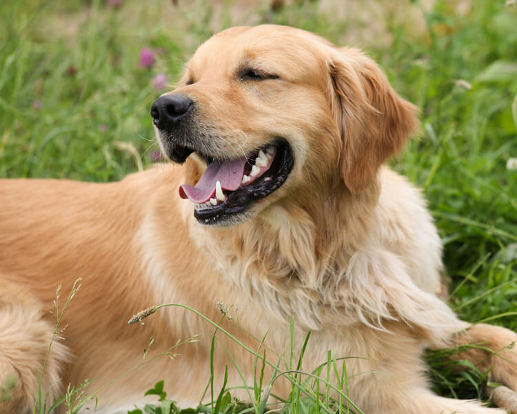 golden retriever, one of the most loyal dog breed