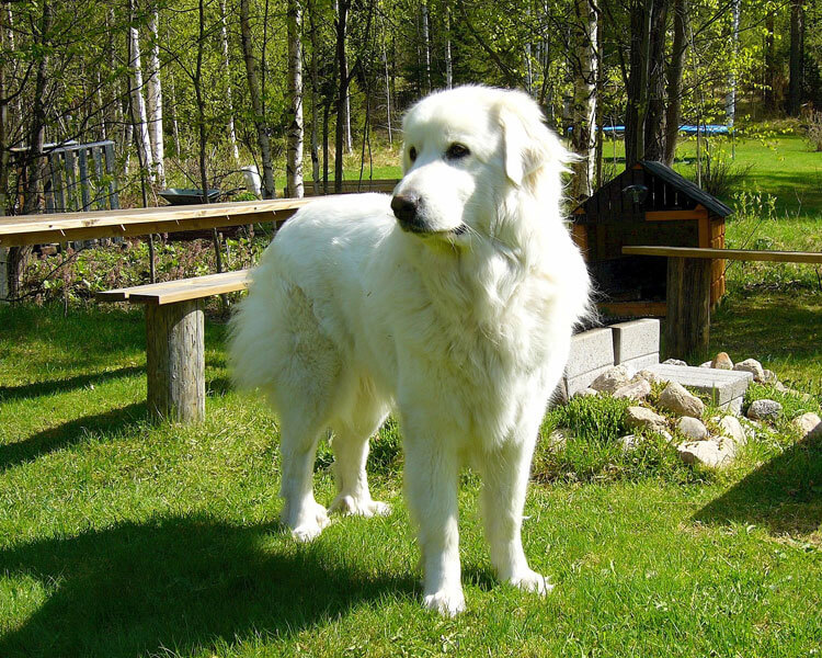 great pyrenee, one of the most loyal dog breed