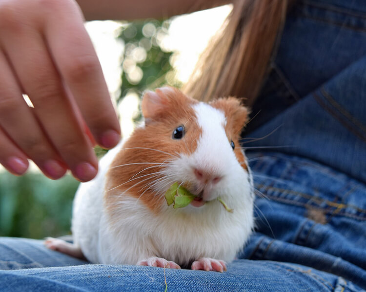 a guinea pig eating on the girl's lap