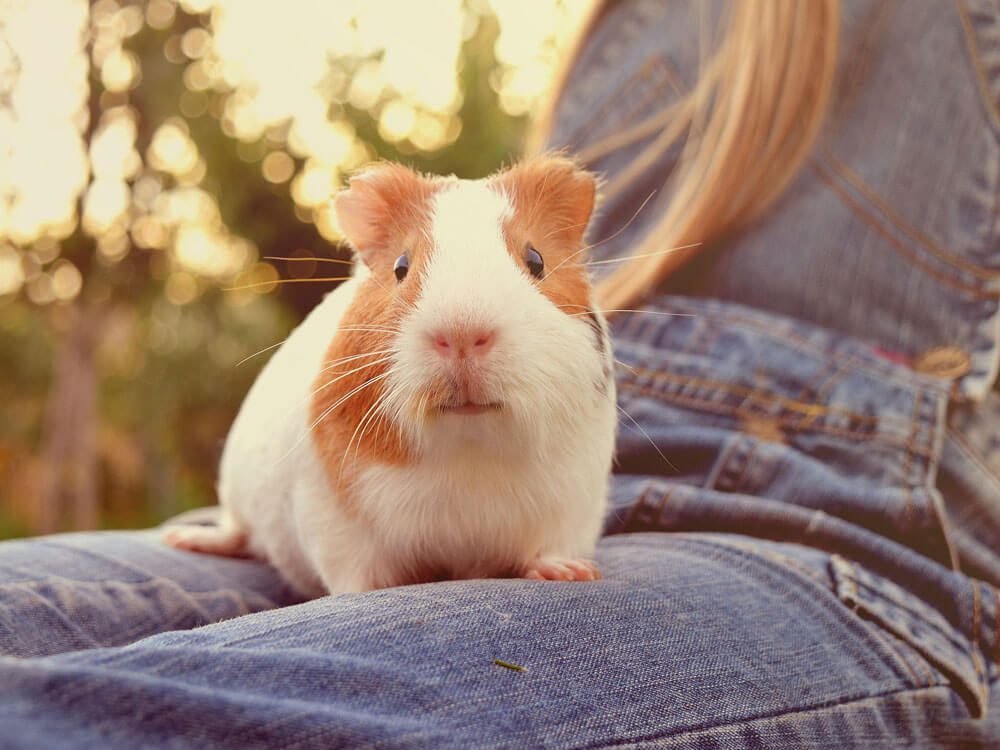 Bringing a New Guinea Pig Home: How to Interact with a Cavy
