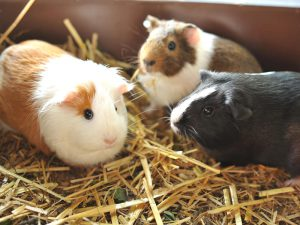 What Does Your Guinea Pig's Body Language and Sounds Mean?