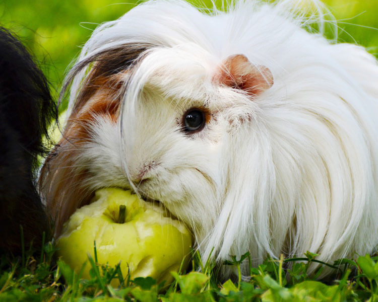 a guinea pig eating apple on the grass