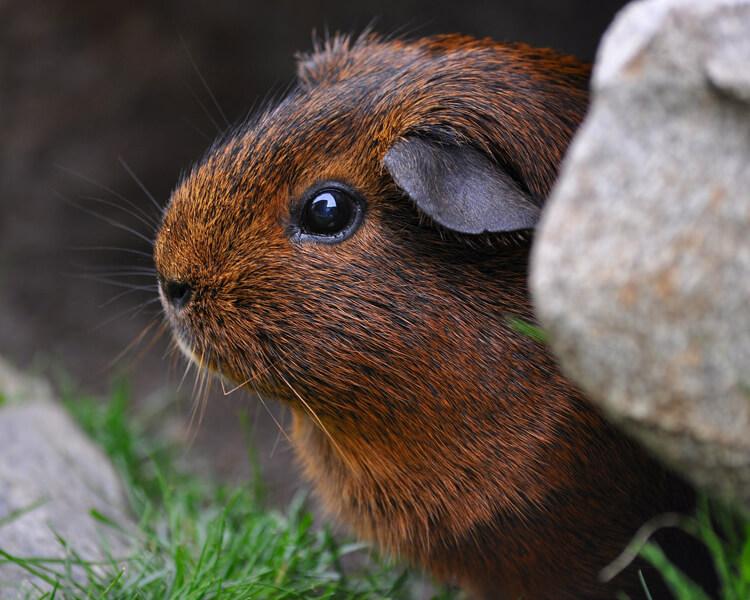 a guinea pig hiding near a stone