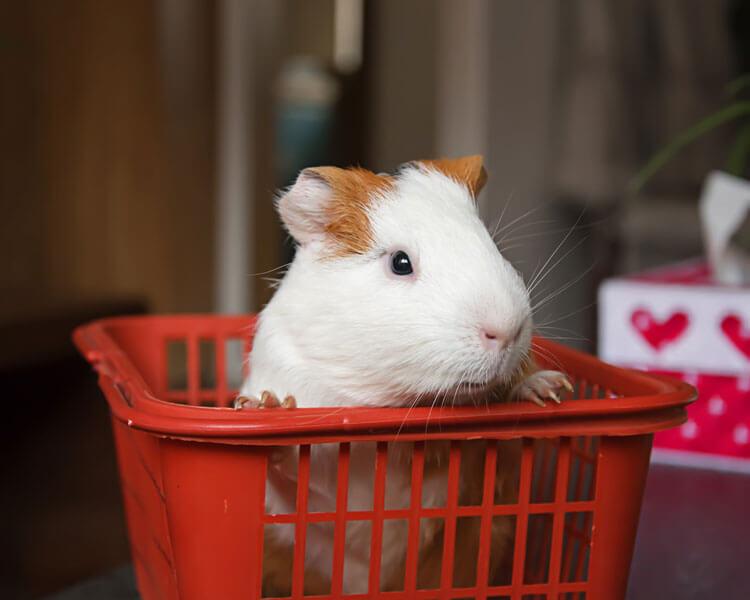 a guinea pig in a basket