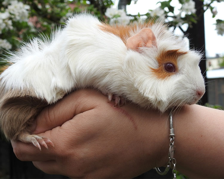 a guinea pig in a man's hand