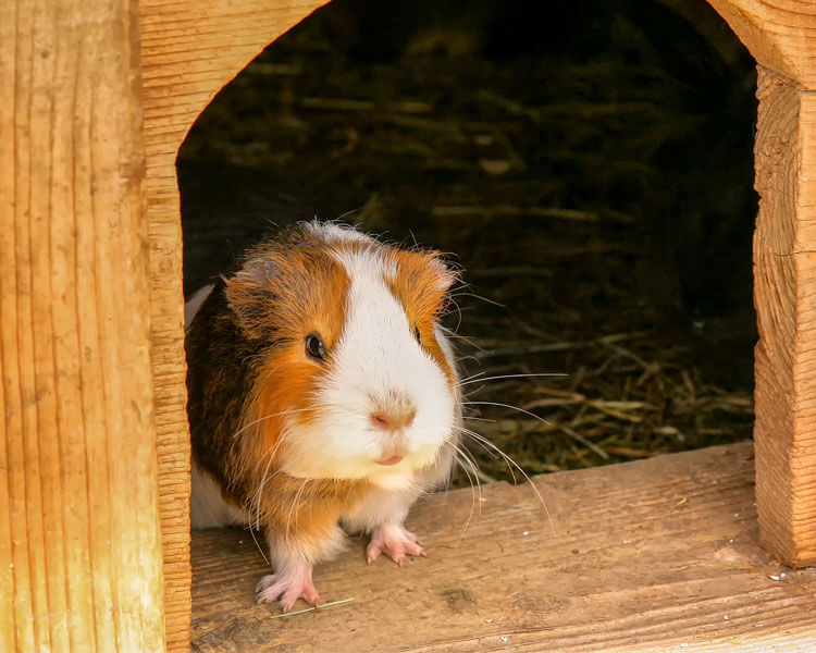 a guinea pig staying in its new home