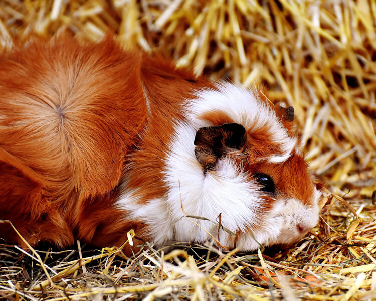 a guinea pig sleeping wide-eyed