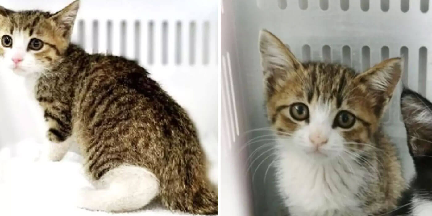 two images of kitten Unagi posted on website for adoption