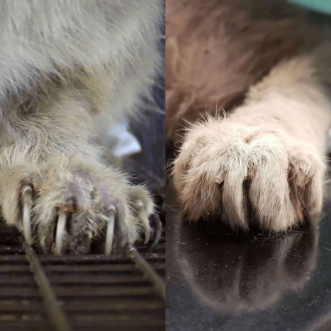 a broken nails of a rescued lykoi cta