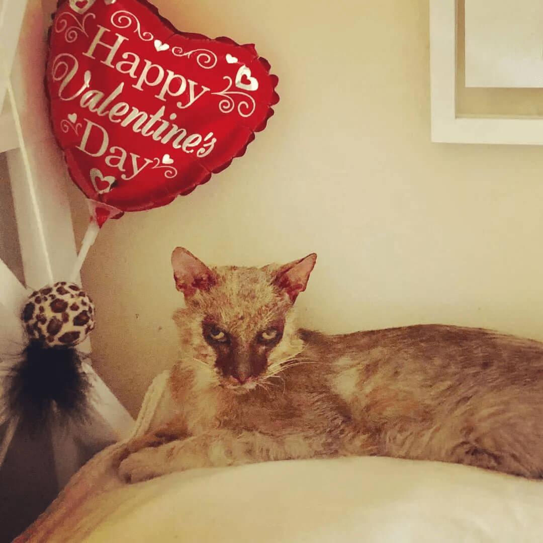 a lukoi cat resting near a heart balloon