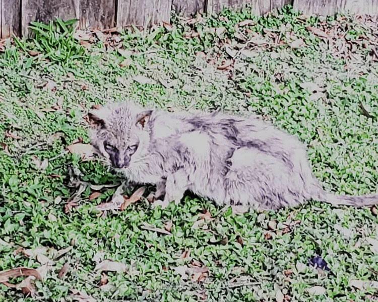 a stray feline called Lykoi, walking on the grass field