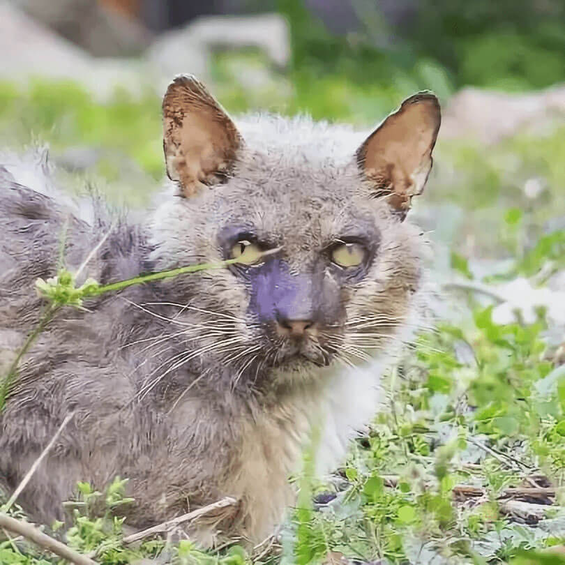 an adult Lykoi cat sitting on the grass