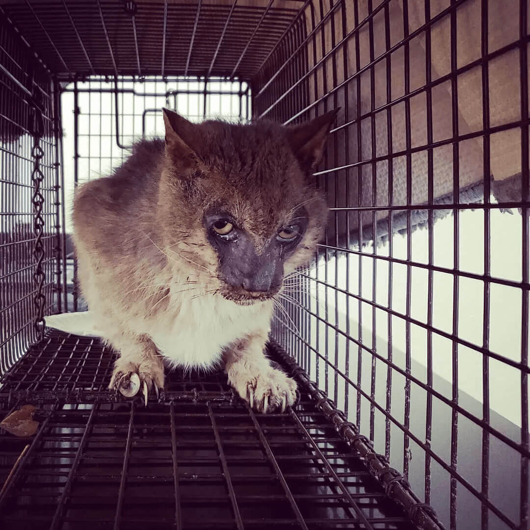 a rescued Lykoi cat kept in a cage
